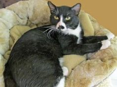 """Adopt Thompson @ Feline Rescue in Saint Paul, MN. Likes People - and Their Elbows """"Good afternoon, I am Thompson, and I am interesting, friendly, and totally comforta..."""
