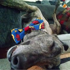 Greyhounds love bow ties. Barky Bows - Dog Bow Ties. Barkybow.com