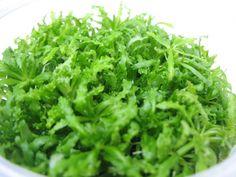 Pogestemon helferi http://www.ebay.co.uk/itm/80-Foreground-Carpet-Live-Aquarium-Tropical-Plants-BEST-OFFER-FREE-DISPATCH-/371177652802