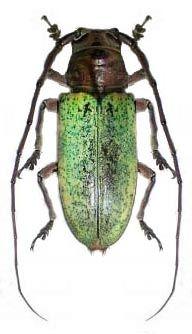Prosopocera bicolor