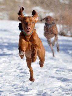Vizsla action shot!