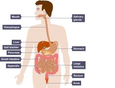 Learn about how the human digestive system works with BBC Bitesize Science. Biology Revision, Science Revision, Human Digestive System, Salivary Gland, Lose Weight, Weight Loss, Bariatric Surgery, Health Matters, Rebounding