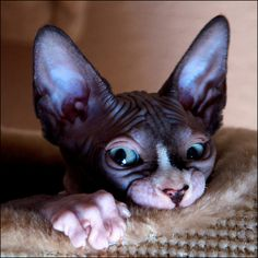 Hairless cats... Am I crazy to think that they're soo gosh darn cute?!