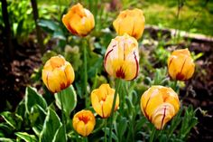 I love these tulips! Yellow and red