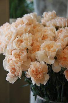 Lizzy Carnation