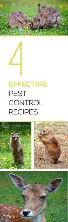 Have pest ruining your garden or property?  Check out these effective pest control recipes to get them out of your yard!