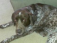 Ursula: German Shorthaired Pointer, Dog; Tewksbury, MA