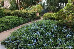 Ceanothus griseus horiz. 'yankee point' - durable groundcover reaches 2 to 3 feet tall and spreads 8 to 12 or more feet wide.   Ground Cover -  front yard street corners and back edge of property