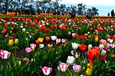 Details about Tasselaar Tulip Festival and KaBloom Festival in Silvan. Find details like history, location, dates and how to reach there Daffodils, Tulips, Melbourne Attractions, Tulip Festival, Historic Houses, Flower Farm, Roman Catholic, Public Transport, Australia Travel
