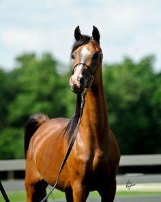 Oak Ridge Arabians - True Love LRA