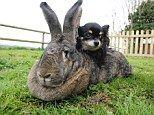 Darius, the world's biggest rabbit, measures 4ft 4 in!
