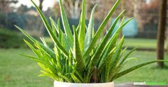 Aloe vera Gel kann viele Hautpflegeprodukte ersetzen. Die ergiebige und pflegeleichte Pflanze lässt sich auch ohne Grünen Daumen ganz einfach selbst züchten.