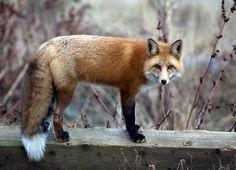 aspen colorado wildlife - foxy