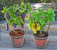 Save money on fruits. Expert gardener shares 7 fruits you can grow right at home Growing Grapes, Growing Plants, Fruit Plants, Fruit Trees, Fruit Garden, Grow Home, Back Gardens, Go Green, Container Gardening