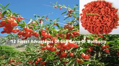 12 Finest Advantages Of Goji Berry Or Wolfberry