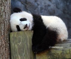 This panda cub is worn out.did he spend the day in my classroom with my panda cubs? Niedlicher Panda, Panda Bebe, Cute Panda, Panda Funny, Cute Baby Animals, Animals And Pets, Funny Animals, Baby Pandas, Baby Panda Bears