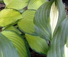 great tips on growing your hosta in a container rather than the ground!