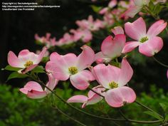 On March 6, 1918, the Commonwealth of Virginia adopted the Dogwood blossom (Cornus florida) as the official floral emblem.