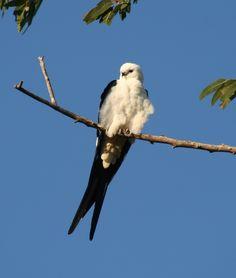 Swallow-tailed Kite Elanoides forficatus - Google Search