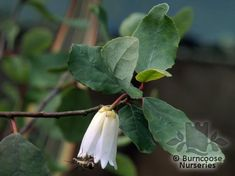 Buy Crinodendron Patagua plants from Burncoose Nurseries