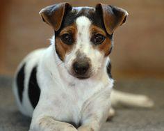 Danish Swedish Farmdog / Dansk / svensk gårdshund (Danish–Swedish Farmdog) Scanian terrier #DSF Puppy Dog Dogs Puppies