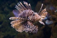 Parc Zoològic: Red Lionfish by Sebastian Niedlich (Grabthar), via Flickr