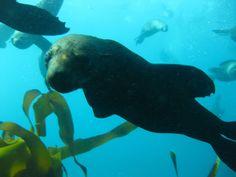 Scuba dive with seals - Scuba Dive Cape Town