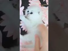 Cute Baby Cats, Kittens Cutest, Cute Babies, Funny Bets, Funny Cat Videos, Dog Cat, Dogs, Pet Dogs, Doggies