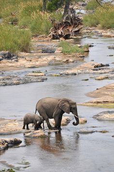 Baby elephant keeps close to mom ~ Kruger National Park, South Africa Kruger National Park, National Parks, Animals And Pets, Baby Animals, Cute Animals, Baby Elephants, Wild Animals, African Animals, African Elephant