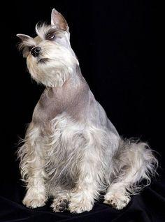 84 best images about SCHNAUZERS on Pinterest | Black schnauzer, Schnauzer puppy and North shore