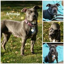 American Pit Bull Terrier dog for Adoption in Sioux Falls, SD. ADN-715854 on PuppyFinder.com Gender: Female. Age: Young