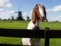 ZAANSE SCHANS - windmills near Amsterdam