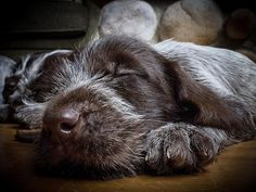 Throwback to a pup from the Wildrums I litter. #wirehairedpointinggriffon