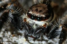 Thisjumping spider macrois a really close up shot of a spider from the Salticidaefamily. This family resides in the spider orderAraneae....