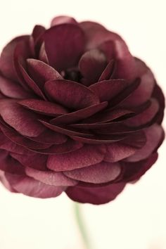 Ranunculus in Marsala #pantone #WilliamsSonoma