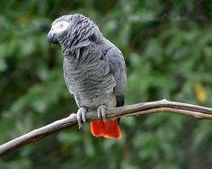 African Gray Parrots are one of the most intellectual creatures. Best mimickers of the bird world.