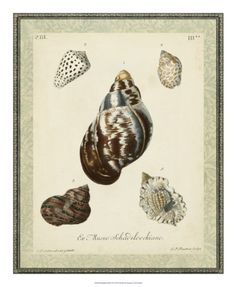 Vision Studio Solid-Faced Canvas Print Wall Art Print entitled Bookplate Shells VII, None Canvas Wall Art, Wall Art Prints, Canvas Prints, Lps, Wrapped Canvas, Shells, Bird, The Originals, Antiques