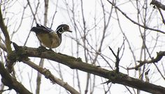 Male wood duck scouting for an appropriate nesting tree. I guess our backyard had no suitable candidates as he and his mate flew off without even a small down payment.