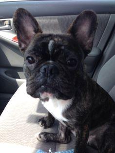 Always ready for a car ride. French Bulldog