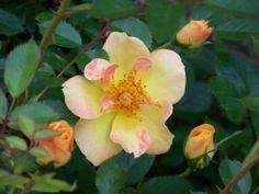 'Paprika' rose
