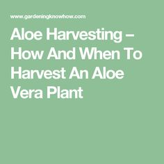 Aloe Harvesting – How And When To Harvest An Aloe Vera Plant