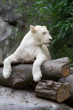 African white lion- so cool-saw on Jack Hannah Beautiful Cats, Animals Beautiful, Cute Animals, Wild Animals, Baby Animals, Gato Grande, Lion Love, Mundo Animal, Lynx