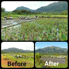 Taking part in the Mahuahua Ai O Hoi Heeia wetland restoration project, Hawaiian Electric employees cleared invasive vegetation and helped prepare trenches for new kalo to be planted. #aina #wetlands #volunteer