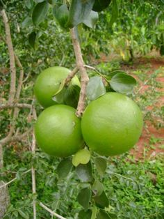 MASSALA =frutas de origem africana - Pesquisa Google