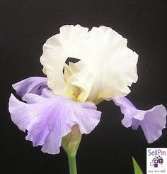 """SellPin.com: Pins for Sale by Owner: Stairway to HeavenLauer199240"""",  blooms early-midseason,Creamy off white standards"""