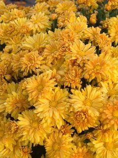 Fall In Golden Amber /// mums Fall Flowers, Summer Flowers, Yellow Flowers, Yellow Flower Wallpaper, Flower Phone Wallpaper, Flowers Perennials, Planting Flowers, Flowers Garden, Autumn Garden