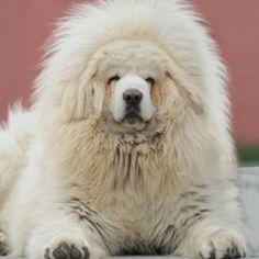 Top 10 Largest but Affectionate Dog Breeds. Tibetan mastiff.  Omg.