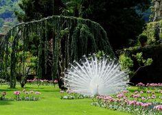 Cualquier jardín se transforma en hermoso con un pavo real paseándose por él !! ♥♥♥