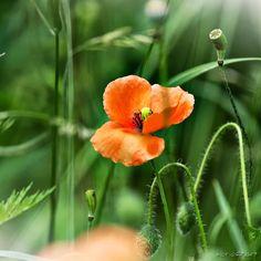 lovely poppy time ...  veredit-photographic-poems by isabela kramer