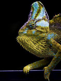 Impressive Chameleon